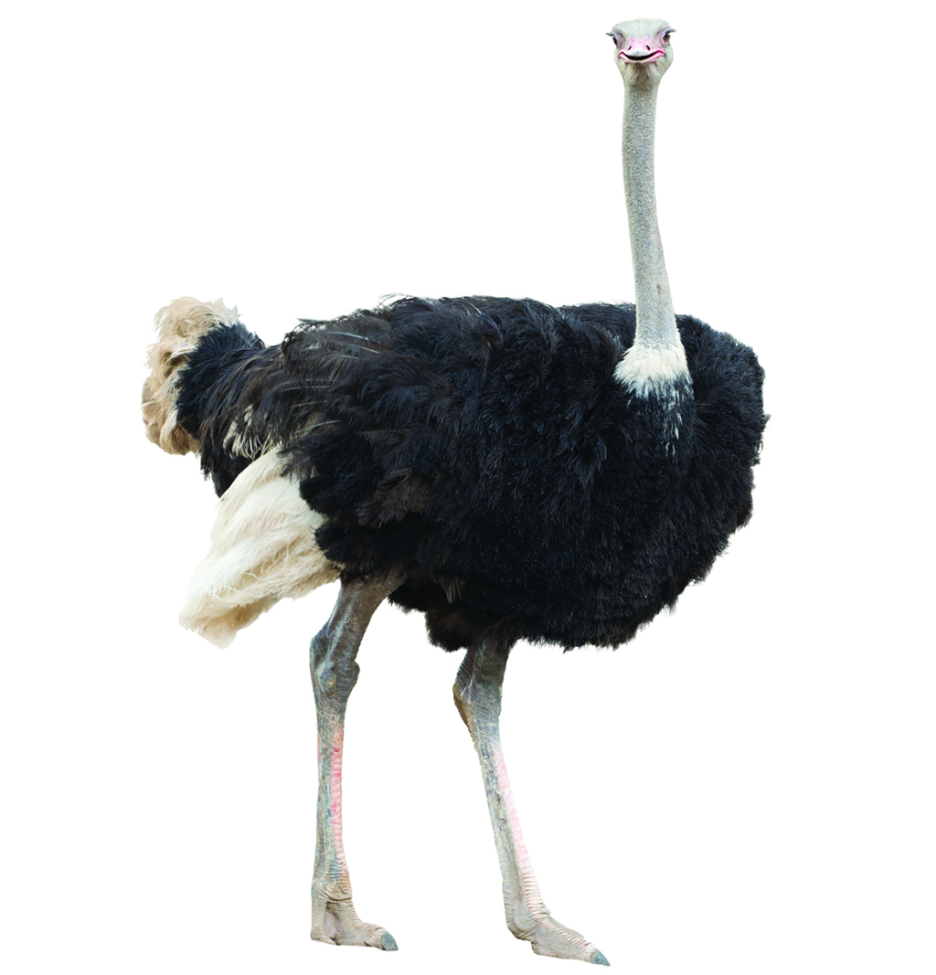 Wright State University Magazine – The Birth of Wright ... Ostrich Giving Birth