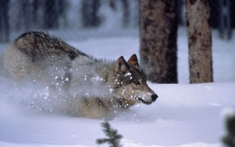 Photo of a North American wolf.