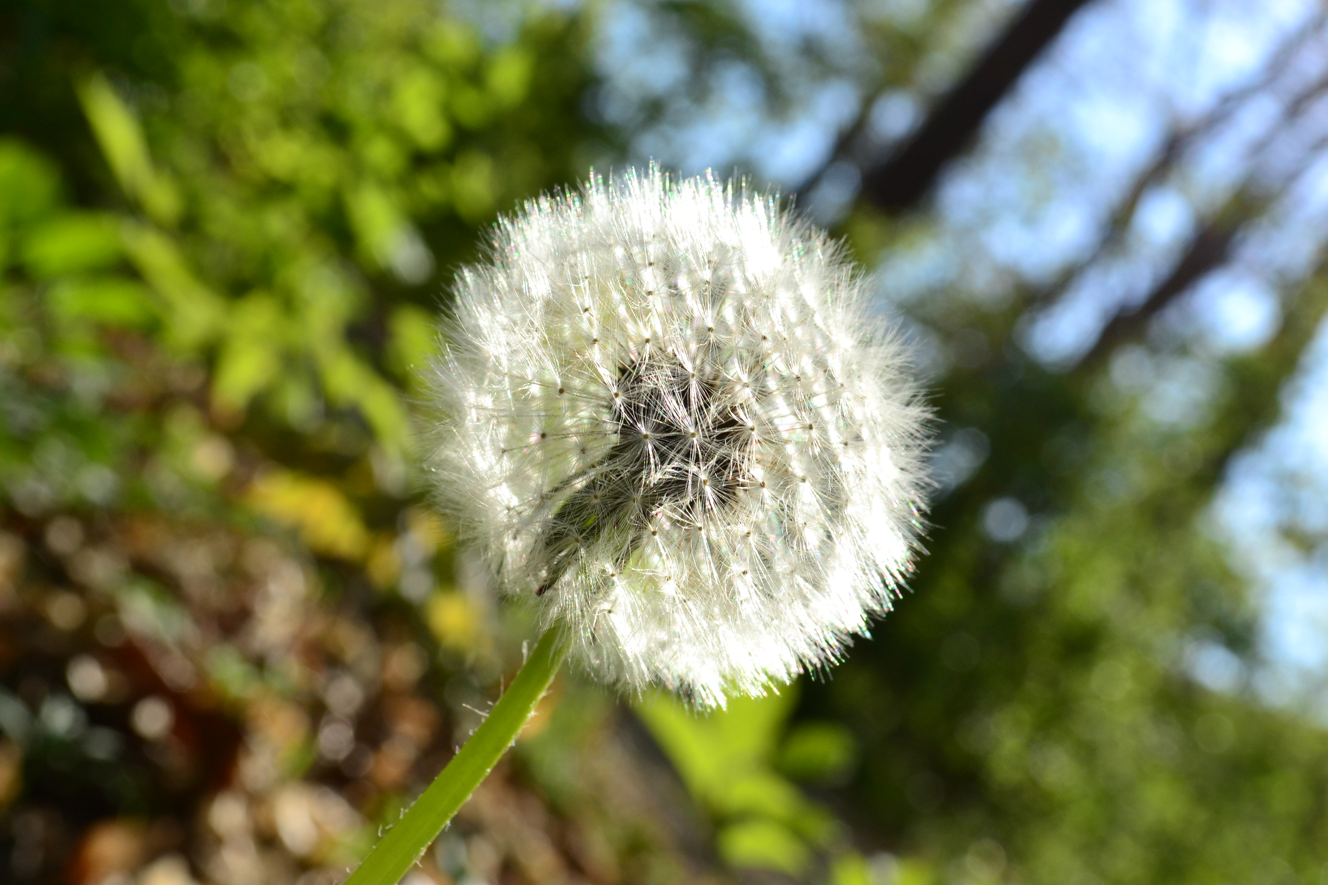 "Runner up: Jeannette Loyer–""Dandelion"""