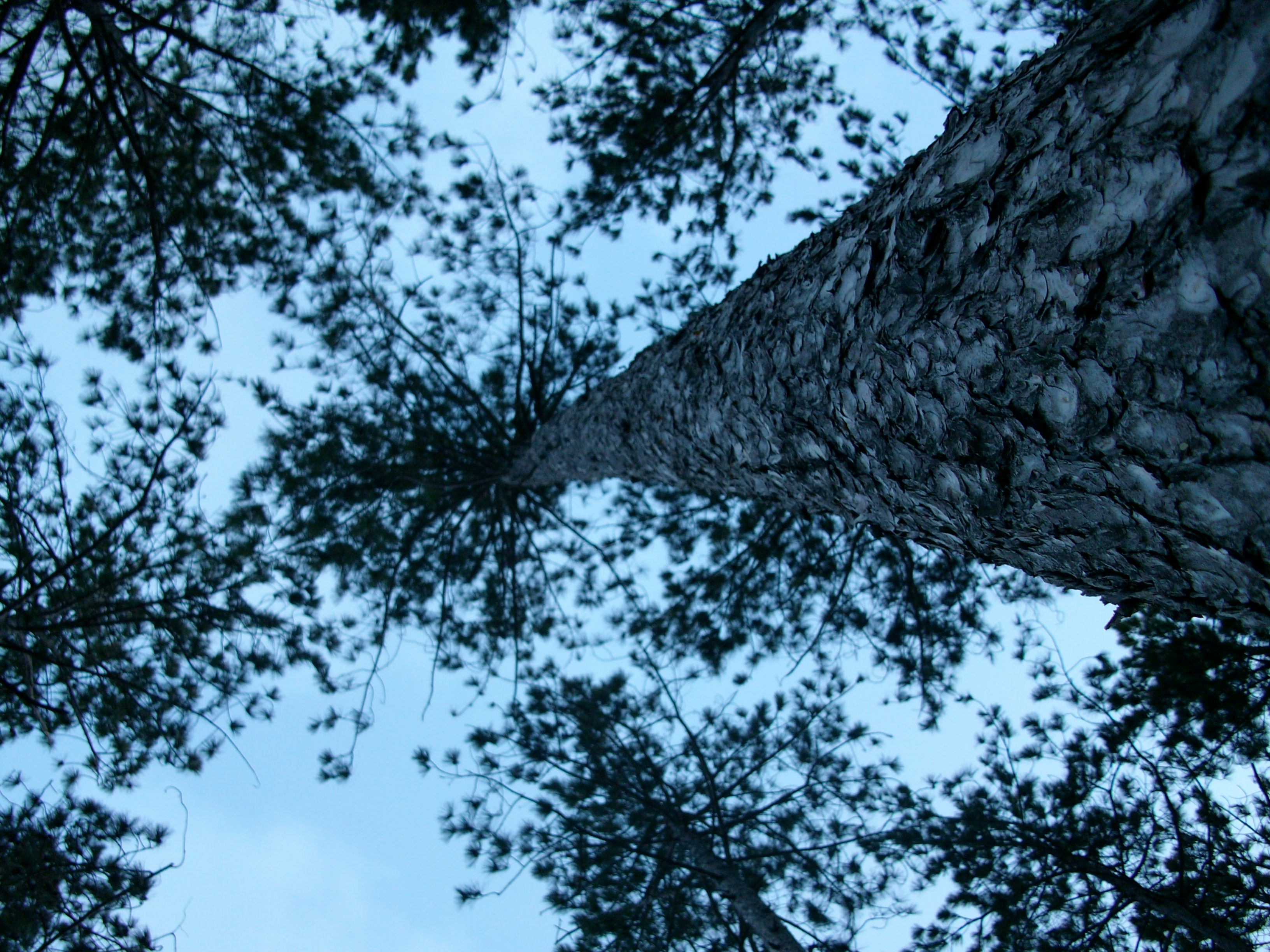 "Honorable Mention: Interesting Perspective–Jessica Herbst–""Tall Pines"""
