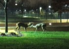 "Honorable Mention: Nighttime Residents–Paul Downing–""Deer on Campus"""
