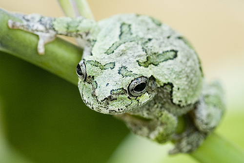 Photo of the gray treefrog