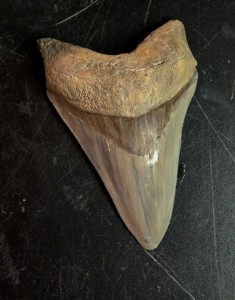 Photo of cast of a hand-size tooth of the prehistoric shark megalodon.