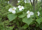 Photo of the large-flowered white trillium, a wildflower that grows in the forests of the upper Midwest.
